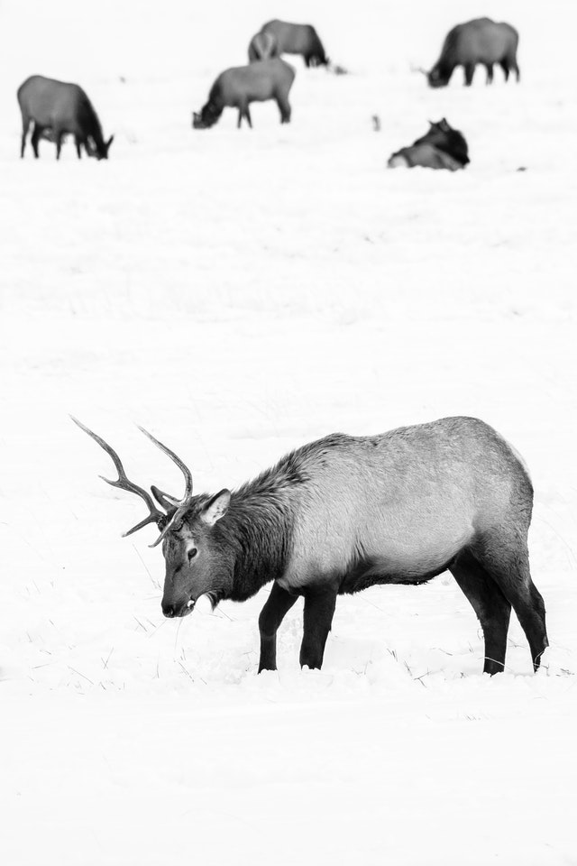 A bull elk digging through the snow in search of food at the National Elk Refuge. Six more elk are in the background, doing the same.