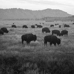 A large herd of bison seen at dawn, at Grand Teton National Park in Wyoming.