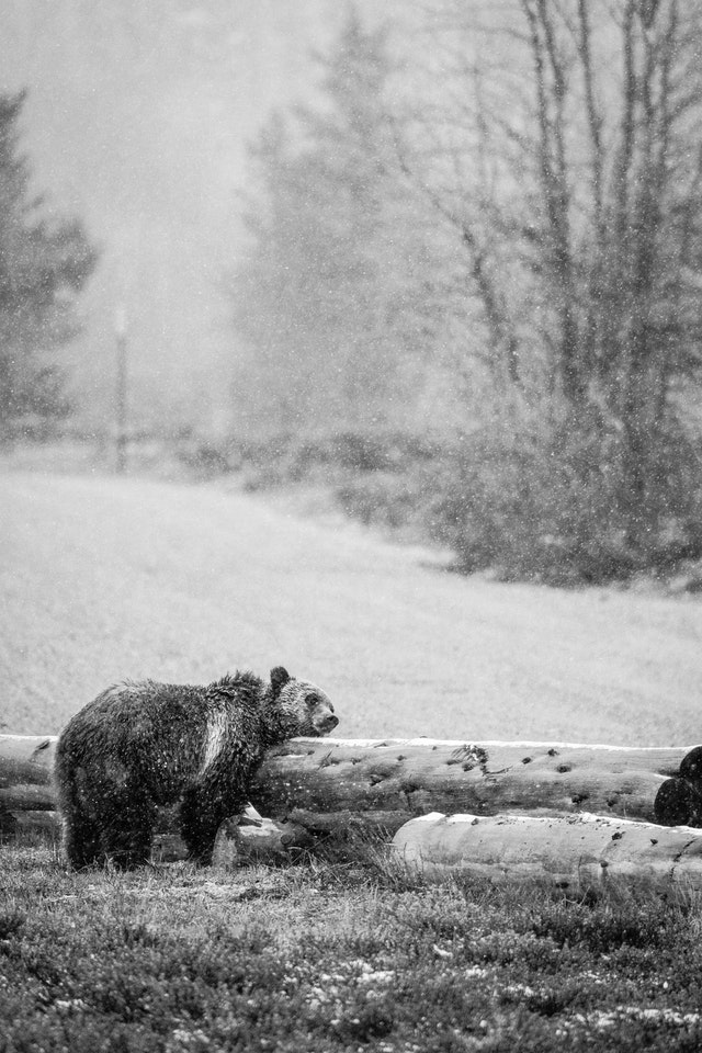 A grizzly bear rubbing its face against a log next to a road.