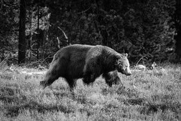 A big boar grizzly walking on the brush near Pilgrim Creek.