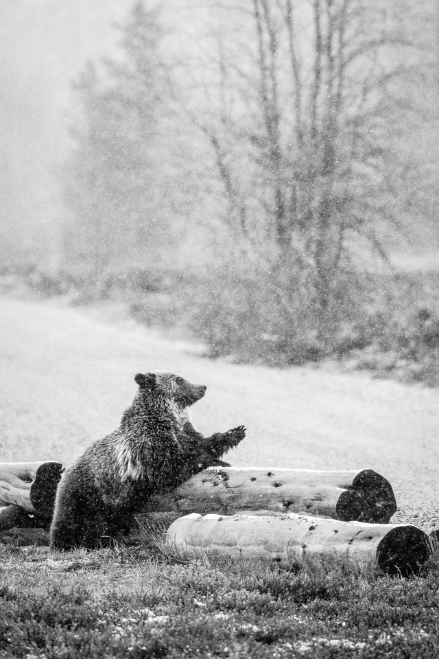 A grizzly bear leaning against a log on the side of the road.