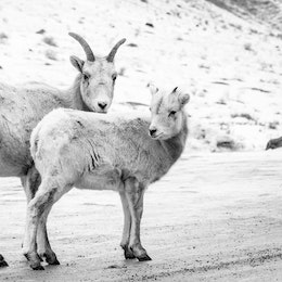 A bighorn sheep ewe and lamb standing on the National Elk Refuge road.