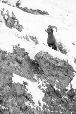 A bighorn sheep standing on a snow-covered rocky ridge at the National Elk Refuge.