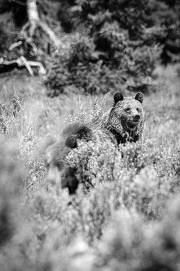 Two young grizzly bears lying down in the brush near Pilgrim Creek Road. One of them is looking up.