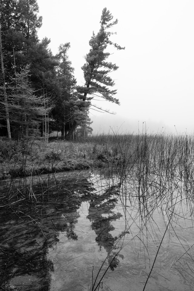 A tilted tree reflected off the surface of Otter Lake, on a foggy morning.