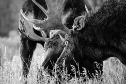 Two bull moose facing off, staring at each other, about to lock antlers.