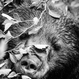 A close-up, head-on photo of a wet black bear's face in a bush.