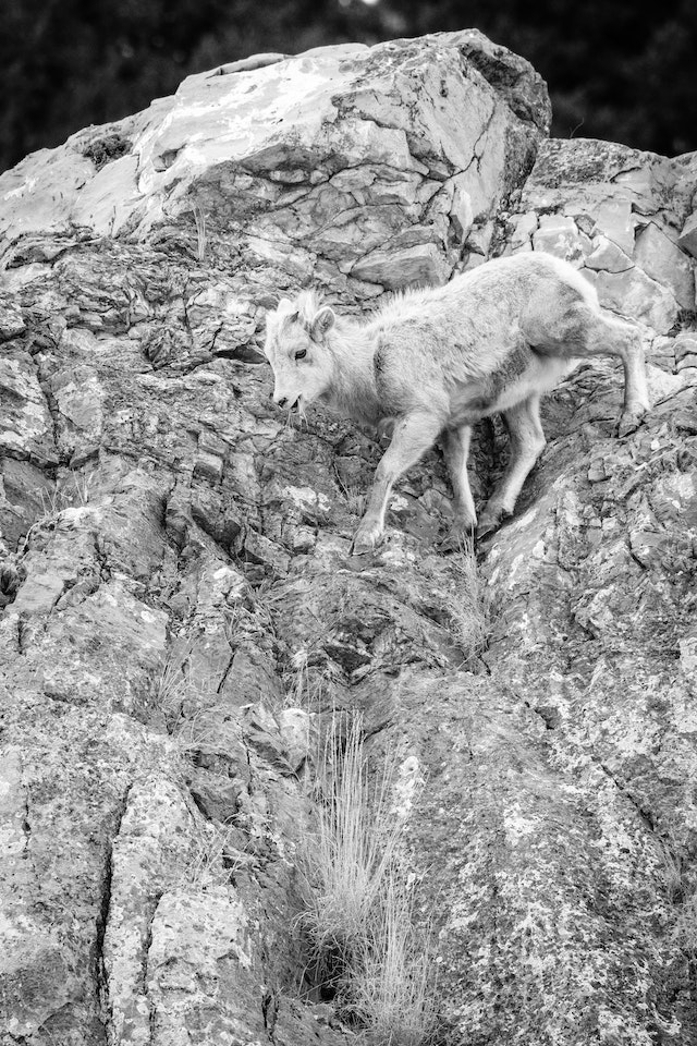 A bighorn lamb climbing down a steep rock face, with a bunch of grass sticking out of its mouth.