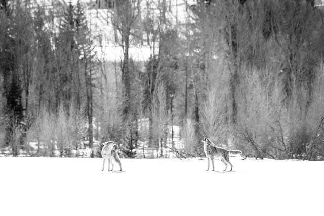 Two coyotes howling in the snow near the Gros Ventre River.