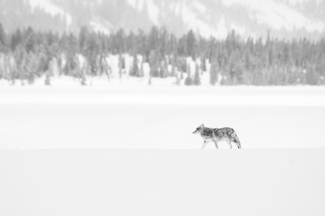 A coyote walking in the snow at Grand Teton National Park.