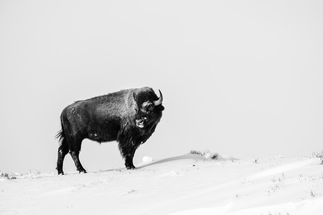 A bison at the top of a snow-covered hill, looking towards her side.