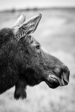 A profile portrait of a moose cow.