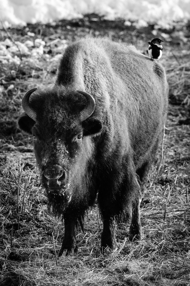A bison standing near the Kelly Warm Spring with a magpie standing on its rump.