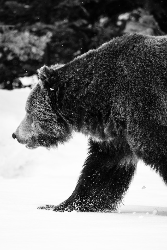 A male grizzly bear walking through the woods in the snow.
