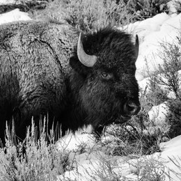 A bison eating sage brush and grasses on a snow-covered hill.