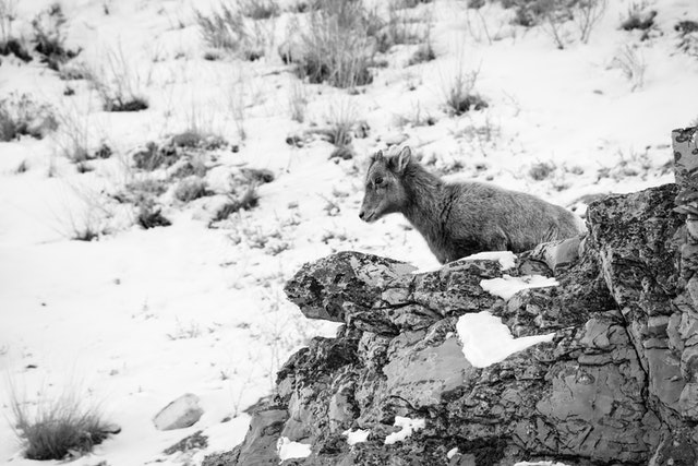 A little bighorn sheep lamb standing on a rock outcropping at the National Elk Refuge.