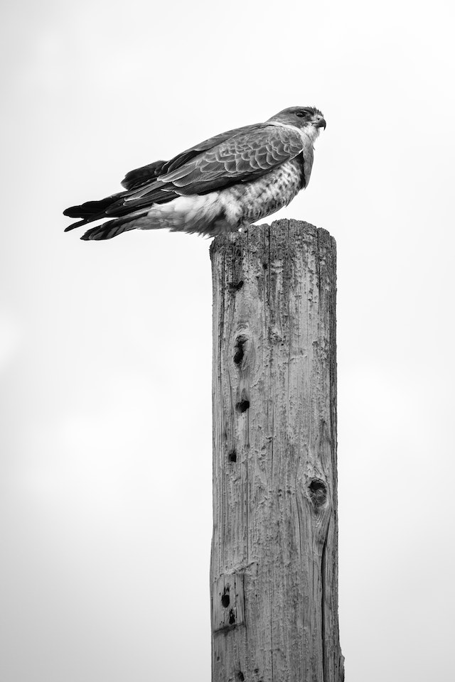 A red-tailed hawk sitting atop a utility pole.
