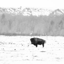 A bison in a snow-covered field close to the Cunningham Cabin.