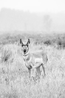 A male pronghorn standing on a grassy field while it snows. It is looking towards the camera.