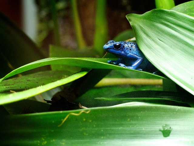 A blue poison dart frog at the National Zoo.