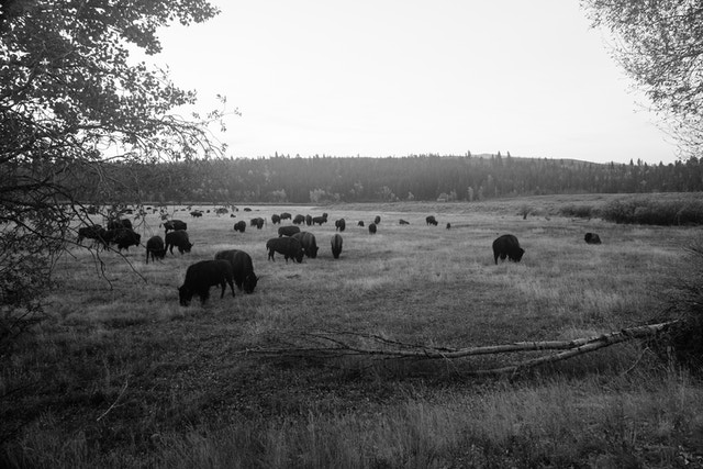 A large herd of bison seen at dawn at Grand Teton National Park.
