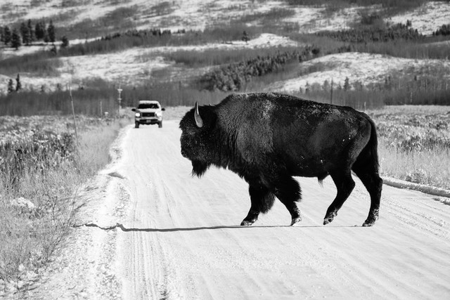 A bison crossing Antelope Flats Road near Mormon Row in Grand Teton National Park.