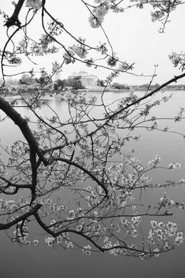 A branch from a cherry tree hanging over the Tidal Basin, with the Jefferson Memorial seen among the blossoms.