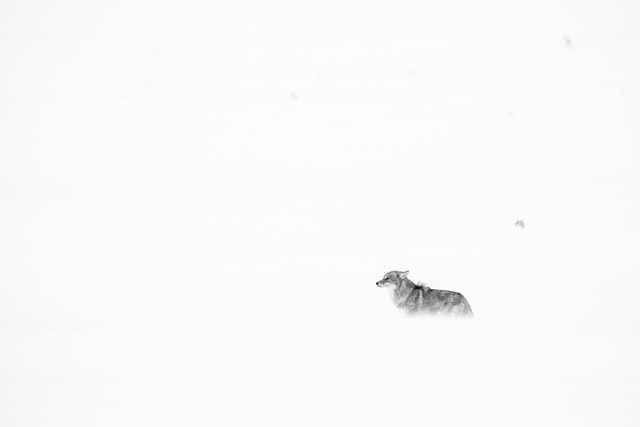 A coyote facing the blowing snow during a snowstorm in Grand Teton National Park.