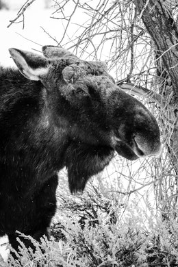 A bull moose without antlers chewing on a bush in Kelly, Wyoming.