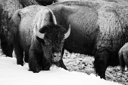 A group of bison standing on the snow-covered bank of the Gros Ventre river.