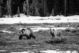 Blondie and one of her cubs walking in an open field at Grand Teton National Park.