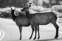 Two elk cows standing in the middle of a road.