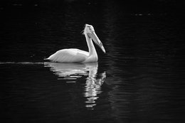 A white pelican floating on the Snake River.
