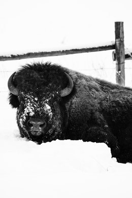 A bison lying down in the snow next to a fence at the Elk Ranch Flats.