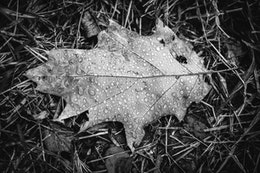 A leaf covered in rain drops on the ground at Valley Forge.