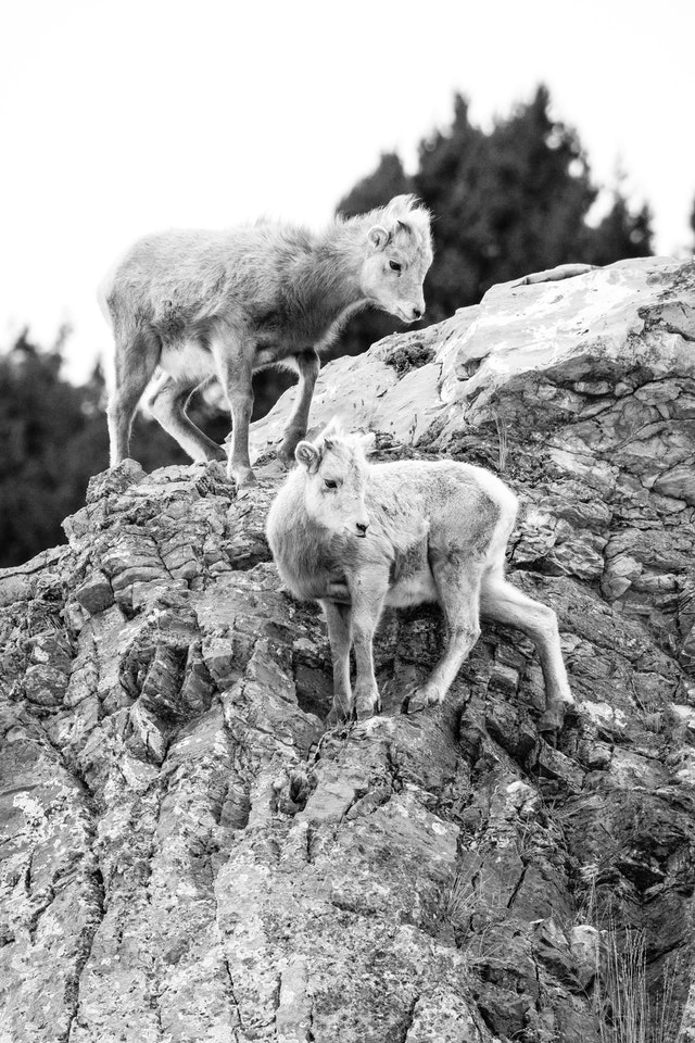 Two bighorn lambs climbing on a rock face at the National Elk Refuge.