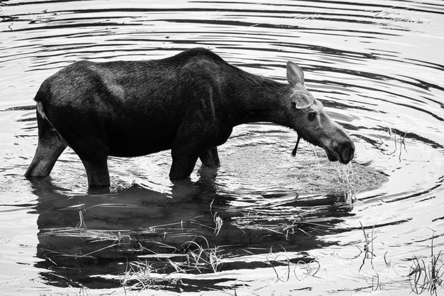 A moose cow walking in the water at a pond near the Snake River. Water is dripping out of her mouth.