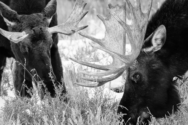 Two bull moose eating among the brush at Antelope Flats.