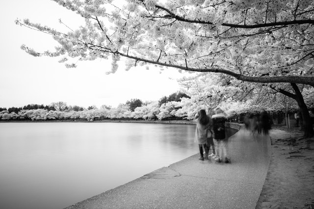 People taking photos of the cherry blossoms along the Tidal Basin.