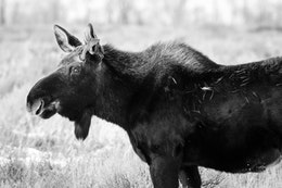 A moose with small paddles and grass on his fur standing on the sage brush at Antelope Flats.