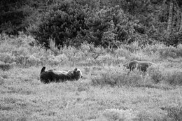 A grizzly sow lying belly up in the brush. To her right, the back of a grizzly boar lying down can be seen in the brush.