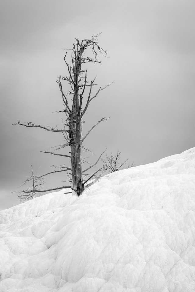 A dead calcified tree sticking out of the Mammoth Hot Springs terrace.