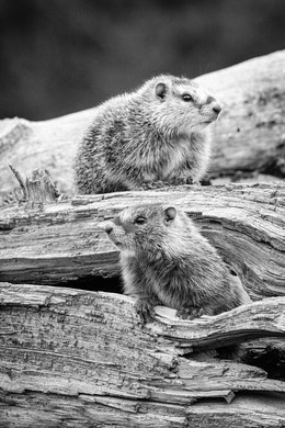 Two marmots on a log on the ground. The one at the bottom is coming out of a hole in the log, the one on top is standing on top of the log.