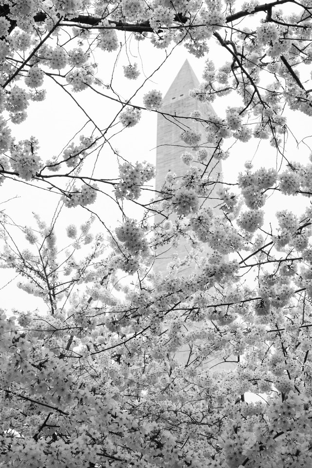 A canopy of cherry blossoms, with the Washington Monument in the background.