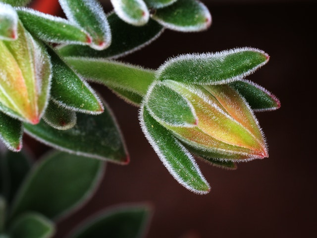 Macro of a succulent's leaves.