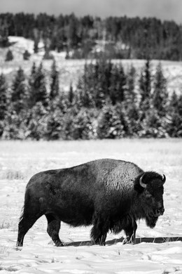 A bison standing in the snow at the Elk Ranch Flats.