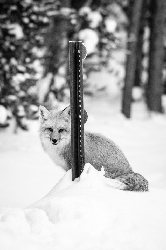 A red fox standing on a snow bank and hiding behind a roadside delineator post, looking towards the camera.