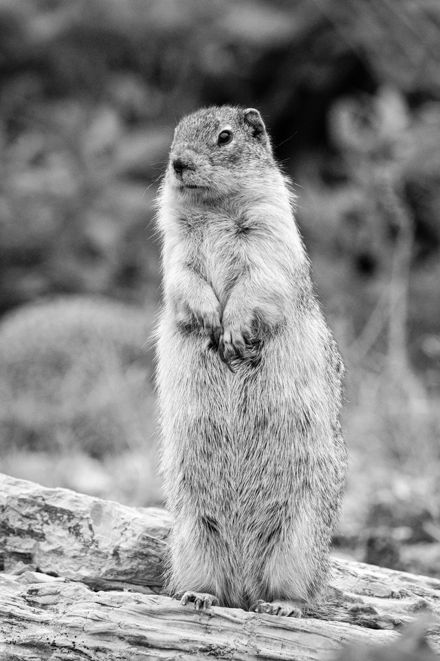 A columbian ground squirrel standing on its hind legs on a log, looking to its right.