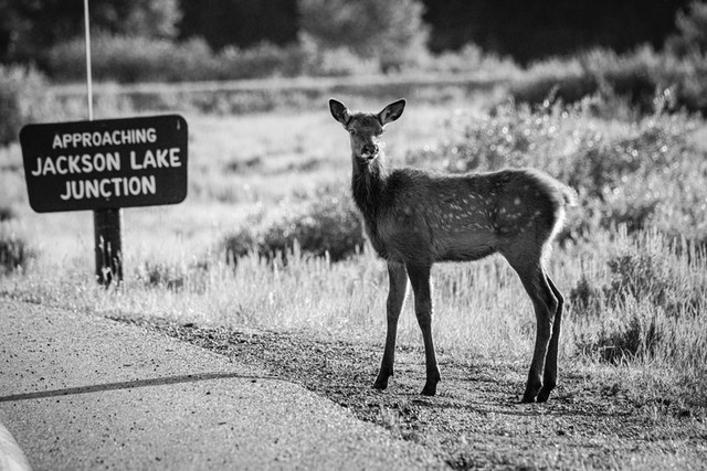 "A young elk standing on the side of the road, near a sign that reads ""approaching Jackson Lake junction""."