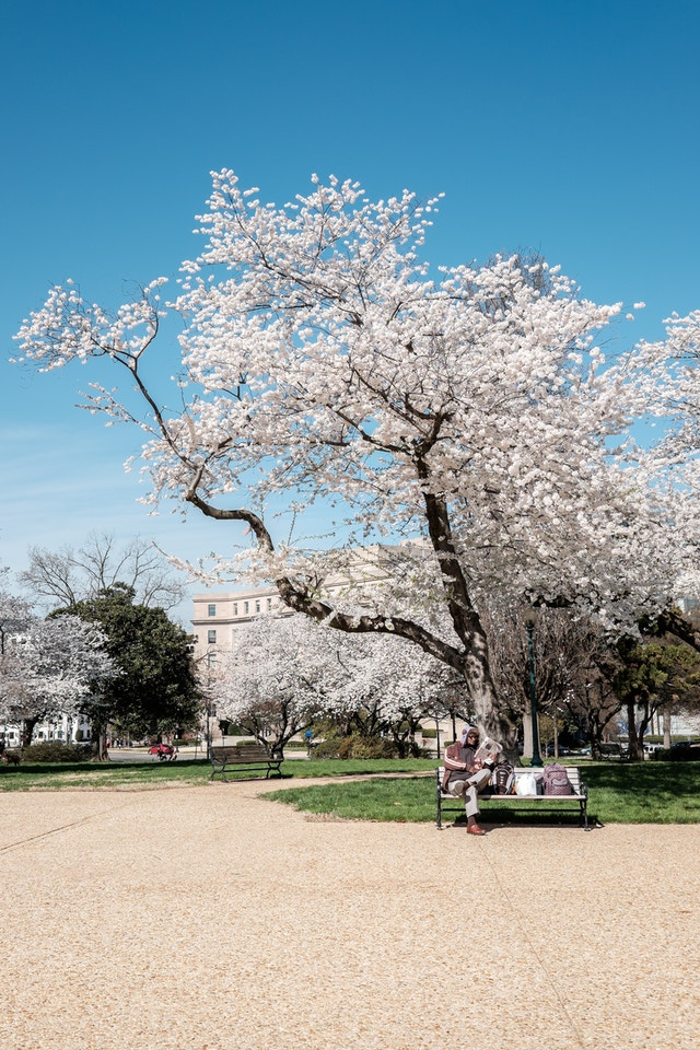 A blooming cherry tree at Lower Senate Park, Washington, DC.